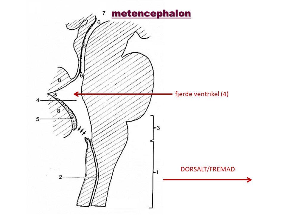 metencephalon fjerde ventrikel (4) DORSALT/FREMAD