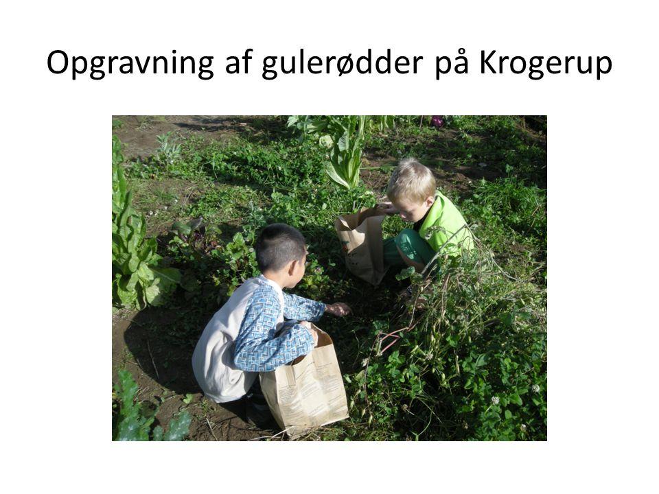 Opgravning af gulerødder på Krogerup