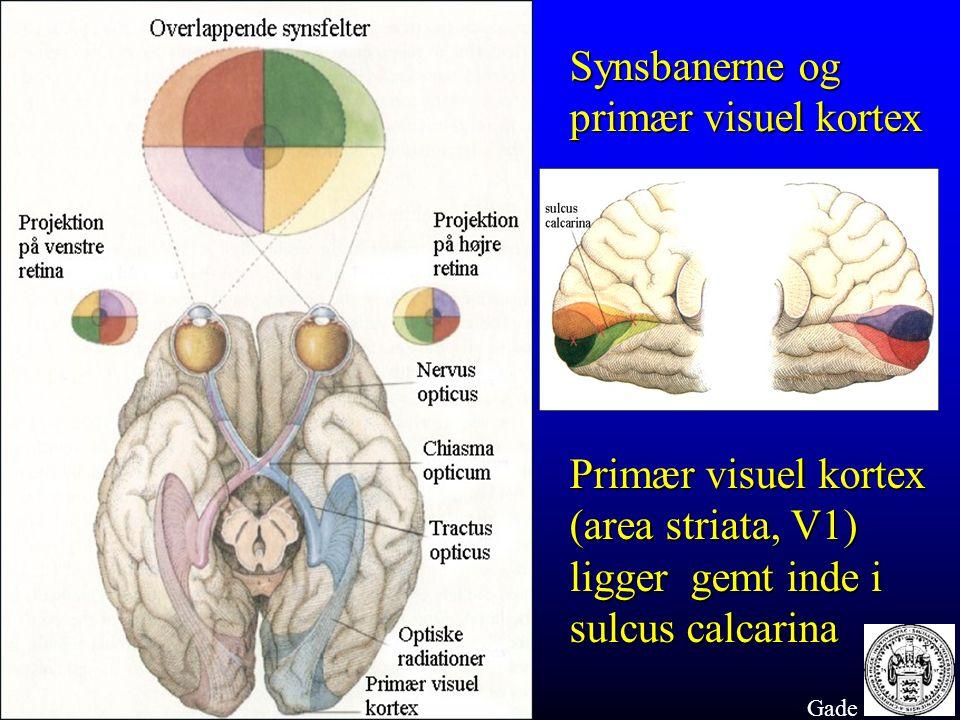 Synsbanerne og primær visuel kortex Primær visuel kortex