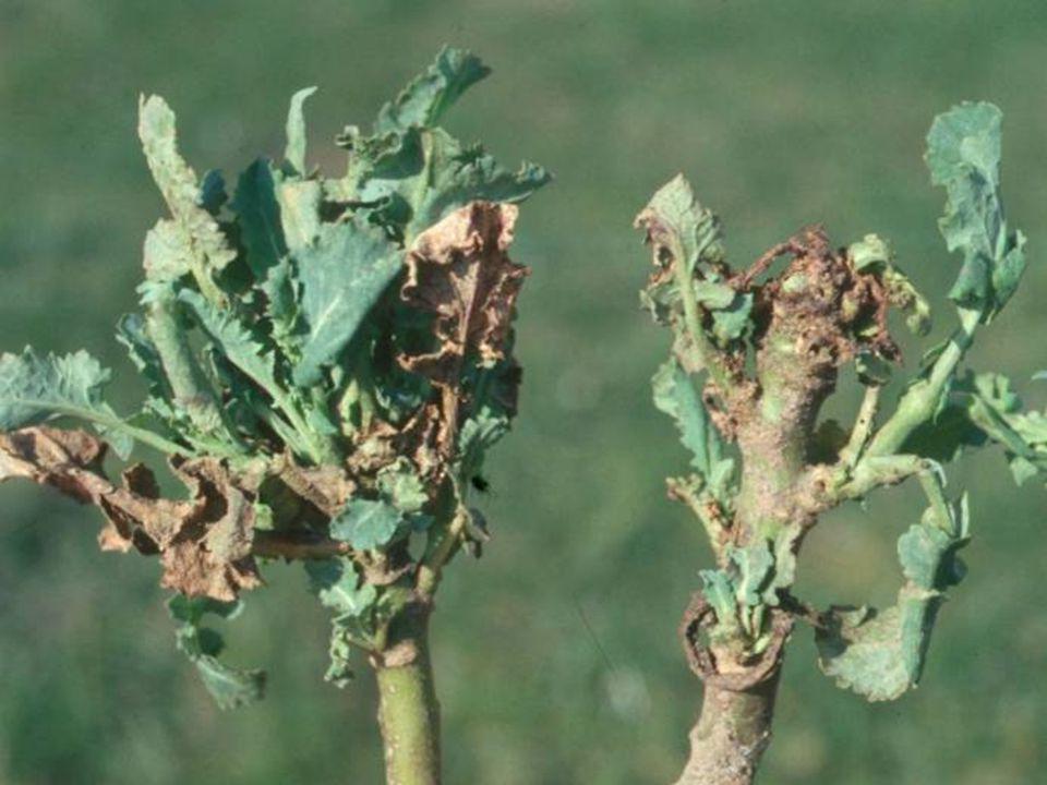 Angreb af rapsjordloppelarver om foråret