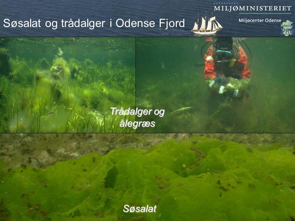 Søsalat og trådalger i Odense Fjord