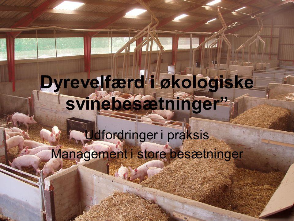 Dyrevelfærd i økologiske svinebesætninger