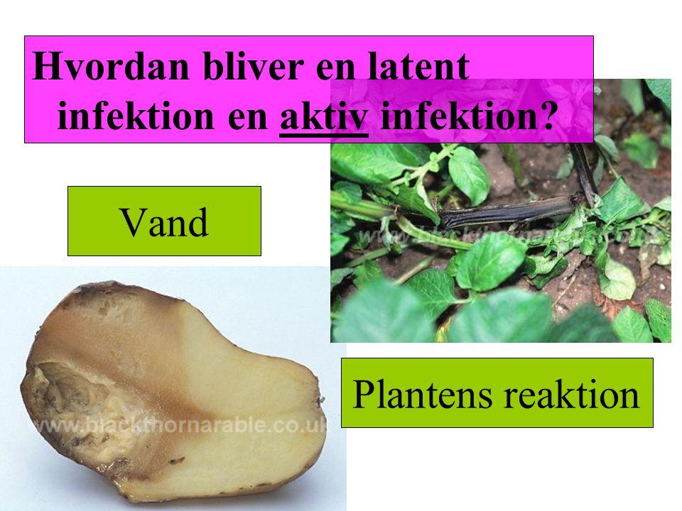 Hvordan bliver en latent infektion en aktiv infektion
