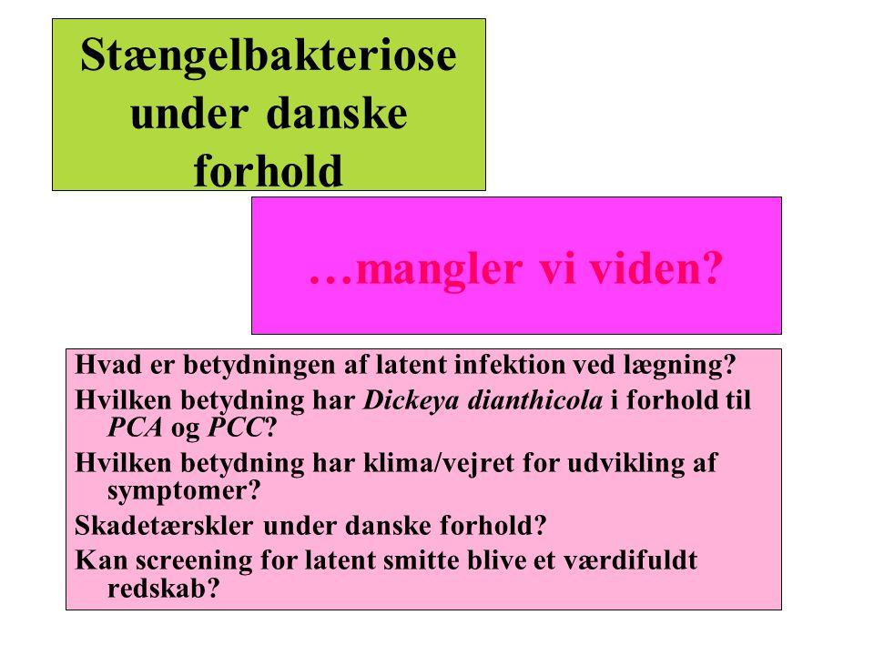 Stængelbakteriose under danske forhold
