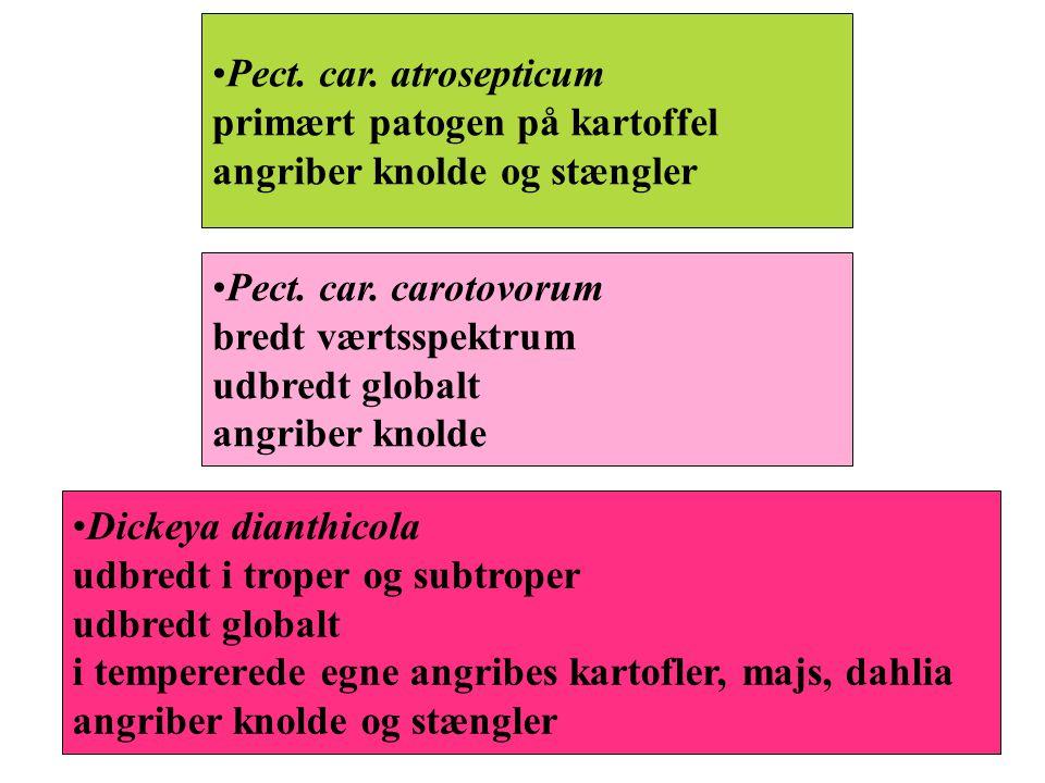 Pect. car. atrosepticum primært patogen på kartoffel angriber knolde og stængler