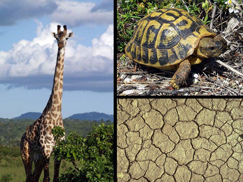 Biologisk hypotese: Mønsteret på en giraf er et Voronoi diagram, dvs