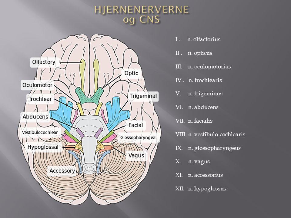 perifere nervesystem