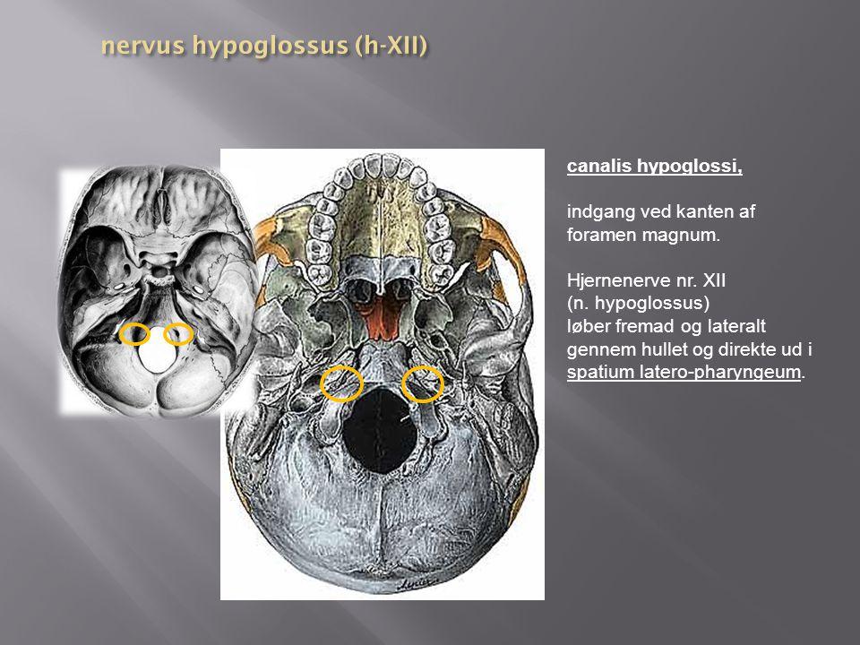 nervus hypoglossus (h-XII)