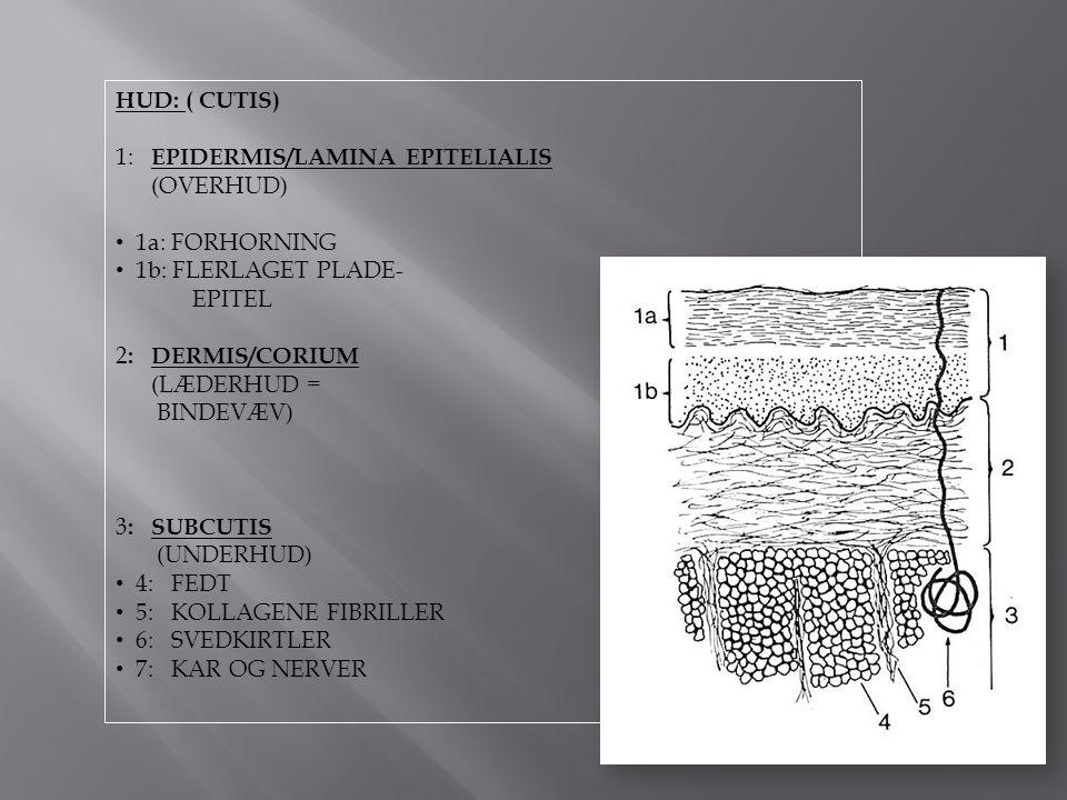 HUD: ( CUTIS) 1: EPIDERMIS/LAMINA EPITELIALIS. (OVERHUD) 1a: FORHORNING. 1b: FLERLAGET PLADE- EPITEL.