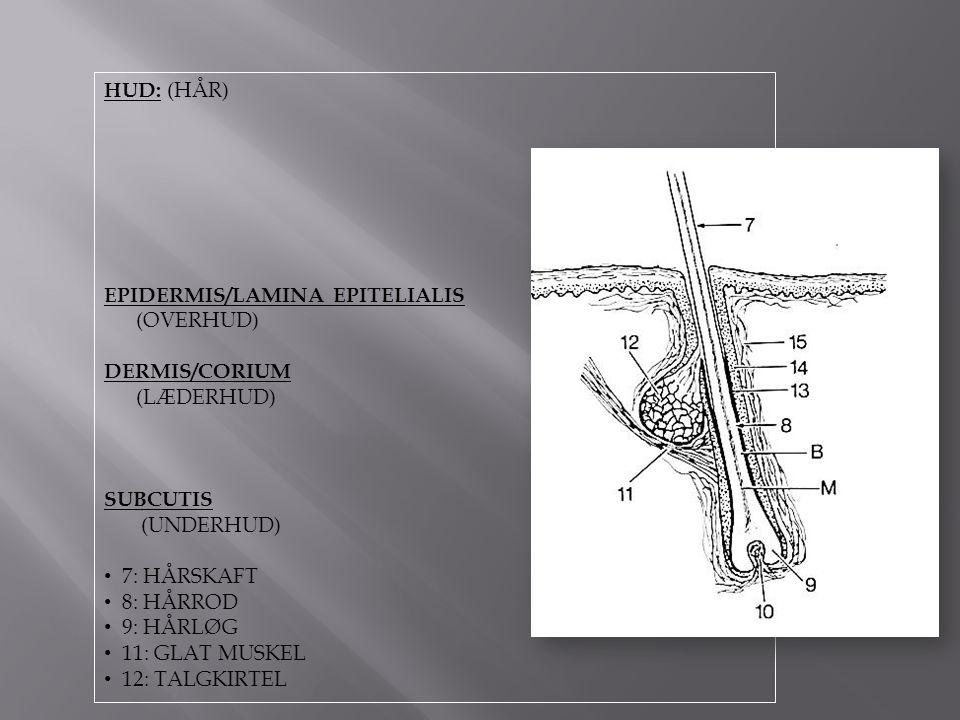 HUD: (HÅR) EPIDERMIS/LAMINA EPITELIALIS. (OVERHUD) DERMIS/CORIUM. (LÆDERHUD) SUBCUTIS. (UNDERHUD)