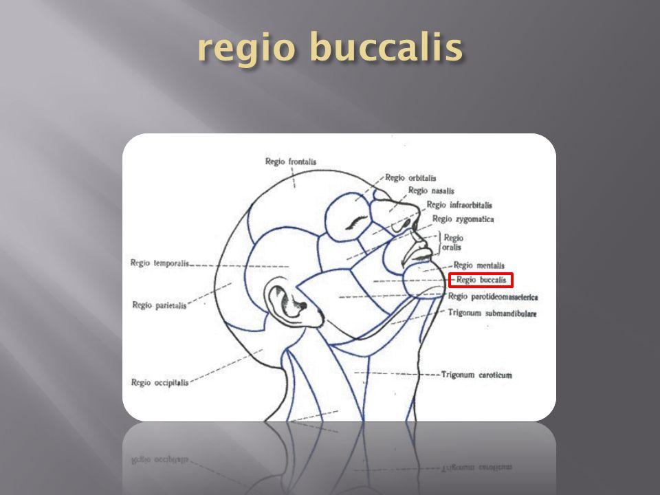 regio buccalis