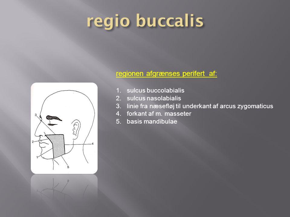 regio buccalis regionen afgrænses perifert af: sulcus buccolabialis