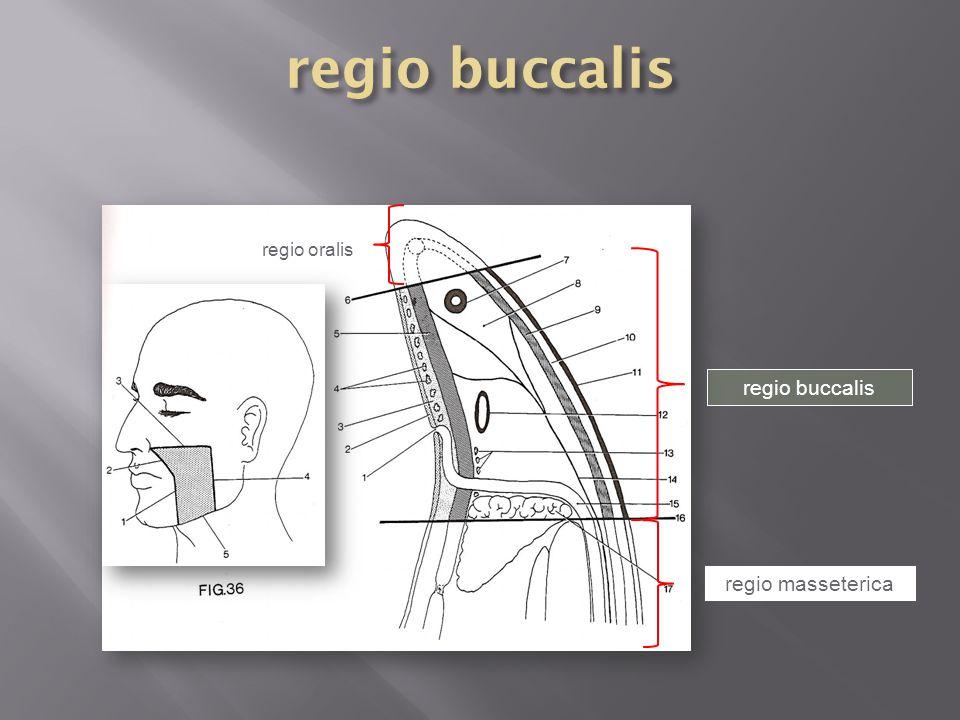regio buccalis regio oralis regio buccalis regio masseterica