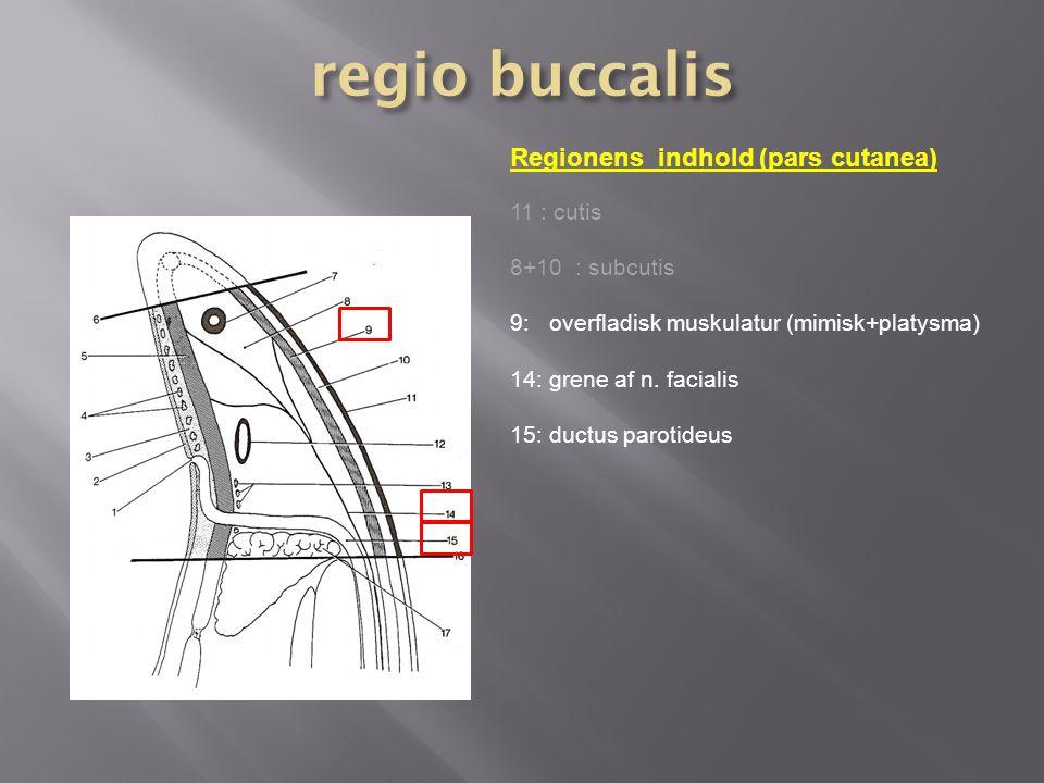 regio buccalis Regionens indhold (pars cutanea) 11 : cutis