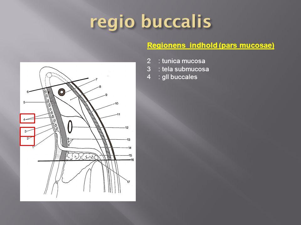 regio buccalis Regionens indhold (pars mucosae) : tunica mucosa