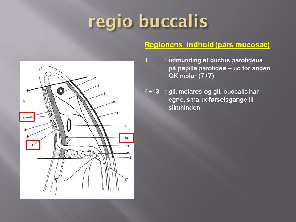regio buccalis Regionens indhold (pars mucosae)