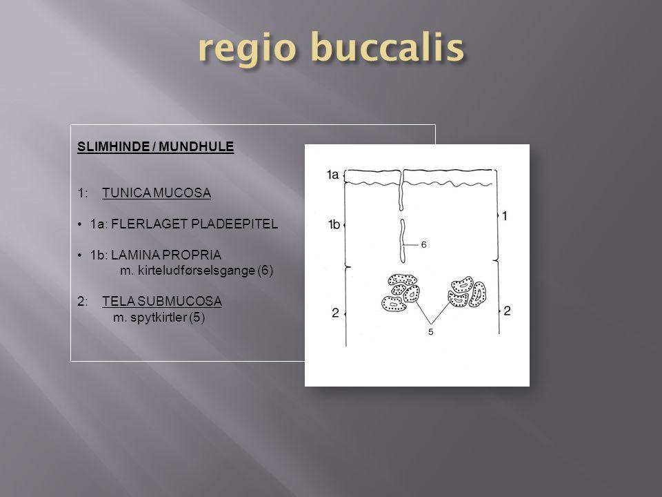 regio buccalis SLIMHINDE / MUNDHULE 1: TUNICA MUCOSA
