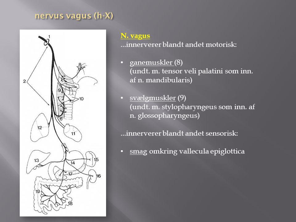 nervus vagus (h-X) N. vagus ...innerverer blandt andet motorisk:
