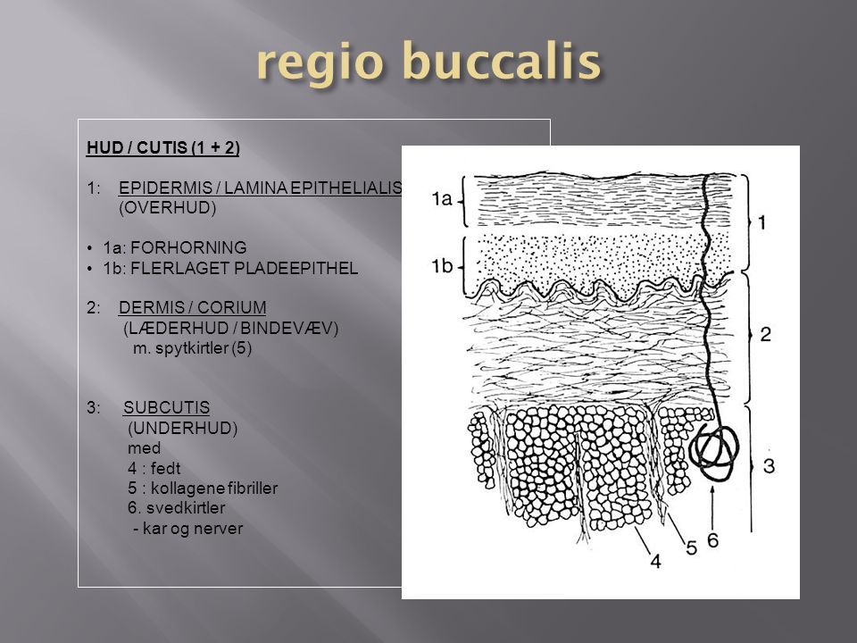 regio buccalis HUD / CUTIS (1 + 2) 1: EPIDERMIS / LAMINA EPITHELIALIS