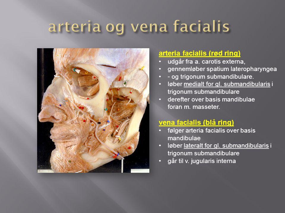 arteria og vena facialis