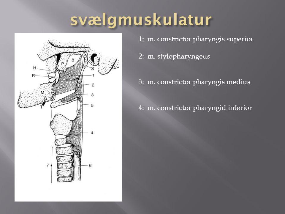 svælgmuskulatur 1: m. constrictor pharyngis superior