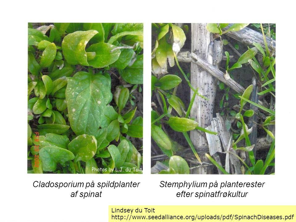 Cladosporium på spildplanter af spinat Stemphylium på planterester