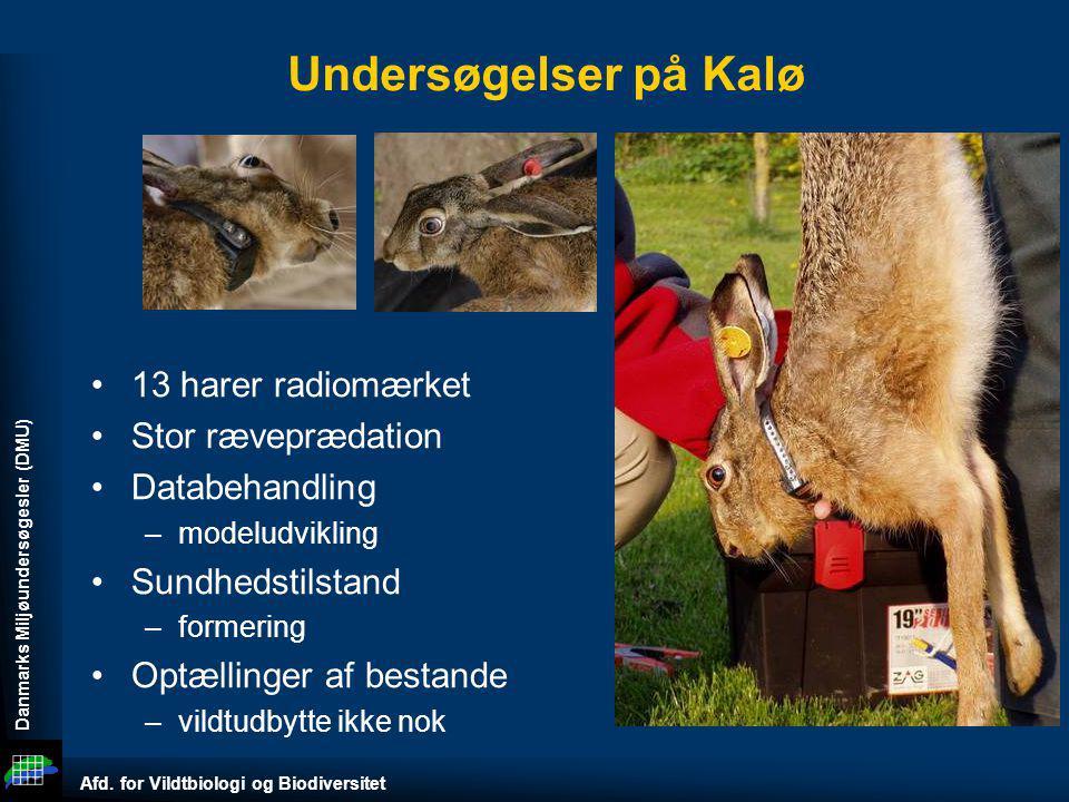 Undersøgelser på Kalø 13 harer radiomærket Stor ræveprædation