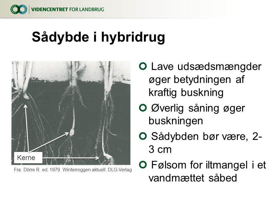 8. april 2017 Sådybde i hybridrug. Lave udsædsmængder øger betydningen af kraftig buskning. Øverlig såning øger buskningen.