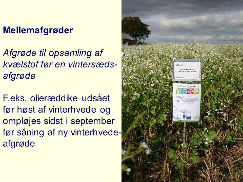 Mellemafgrøder Afgrøde til opsamling af. kvælstof før en vintersæds- afgrøde. F.eks. olieræddike udsået.