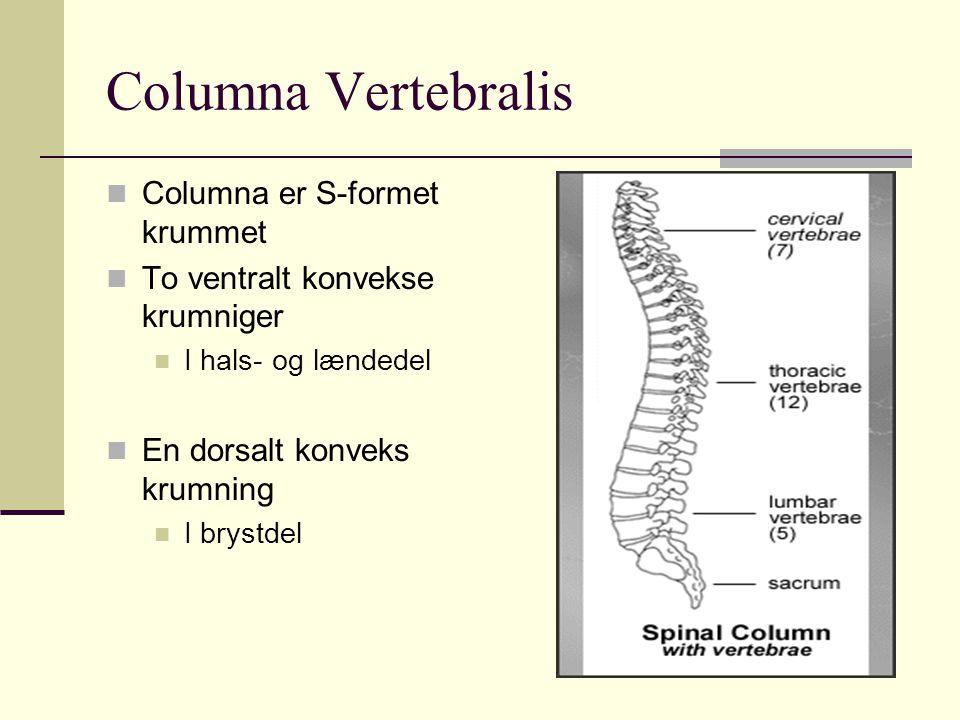 Columna Vertebralis Columna er S-formet krummet