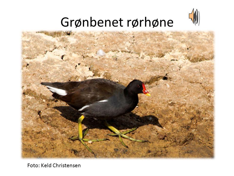 Grønbenet rørhøne Foto: Keld Christensen