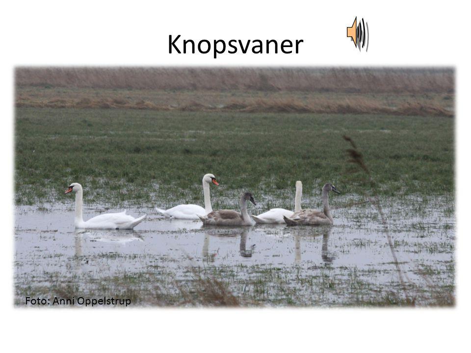 Knopsvaner Foto: Anni Oppelstrup