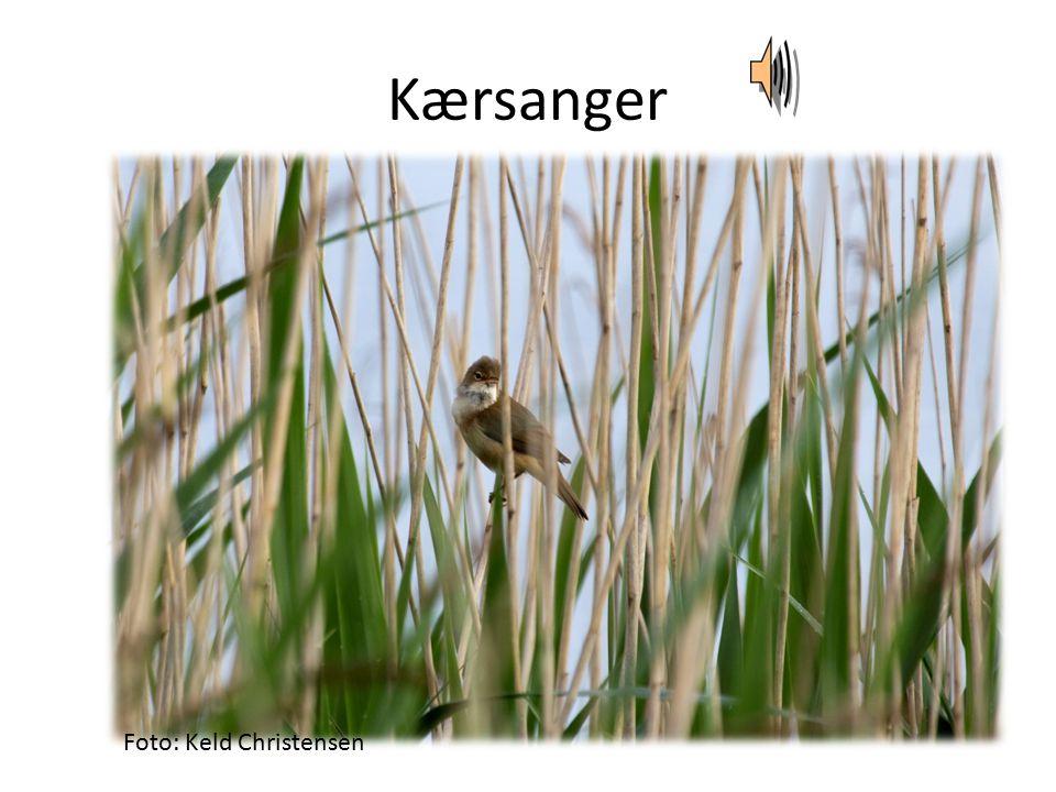 Kærsanger Foto: Keld Christensen