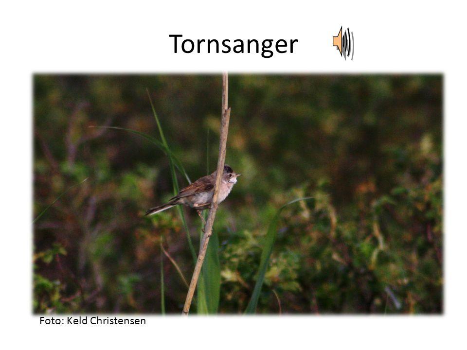 Tornsanger Foto: Keld Christensen