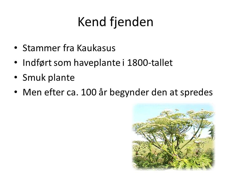 Kend fjenden Stammer fra Kaukasus Indført som haveplante i 1800-tallet