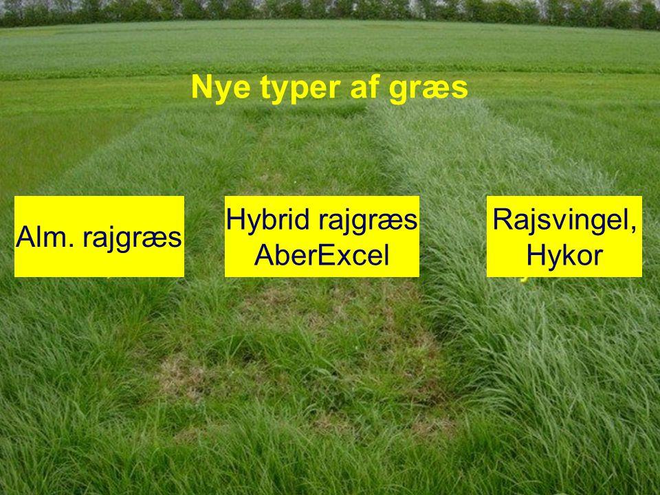 Nye typer af græs Alm. rajgræs Hybrid rajgræs AberExcel Rajsvingel,