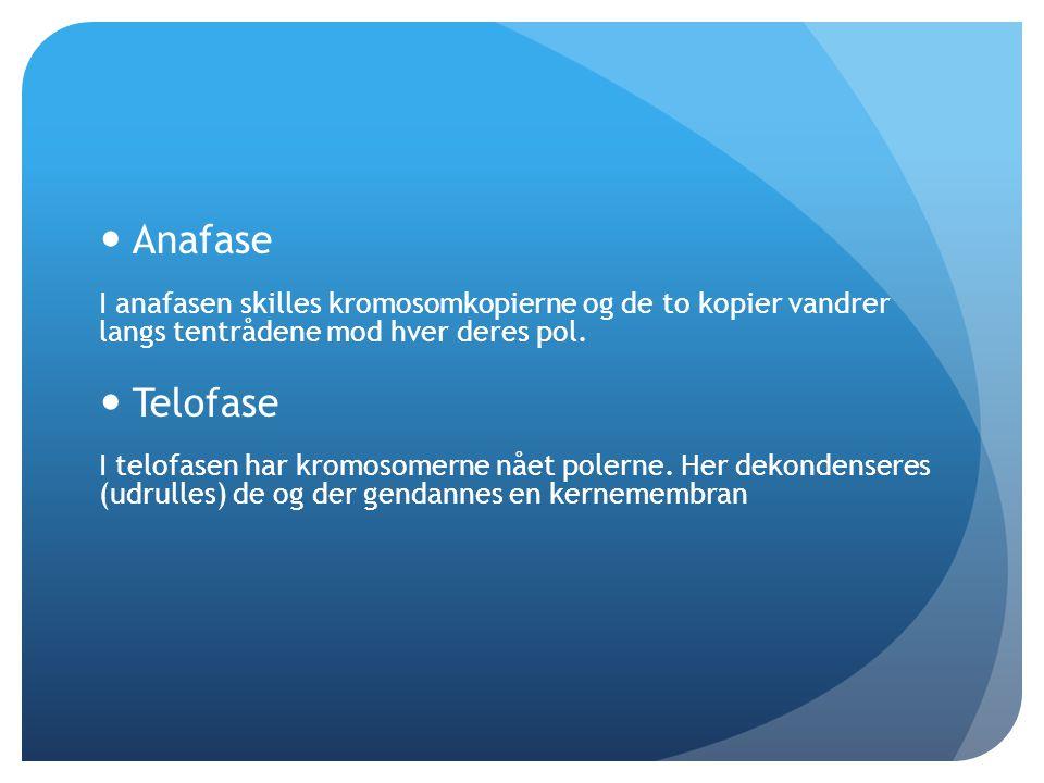 Anafase I anafasen skilles kromosomkopierne og de to kopier vandrer langs tentrådene mod hver deres pol.