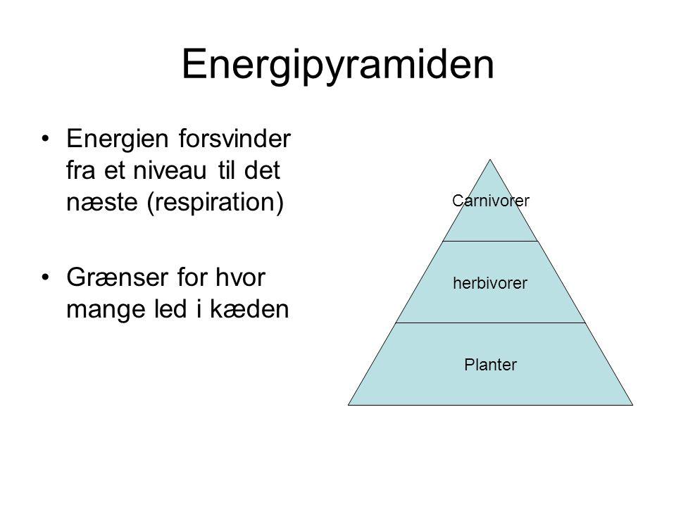 Energipyramiden Energien forsvinder fra et niveau til det næste (respiration) Grænser for hvor mange led i kæden.