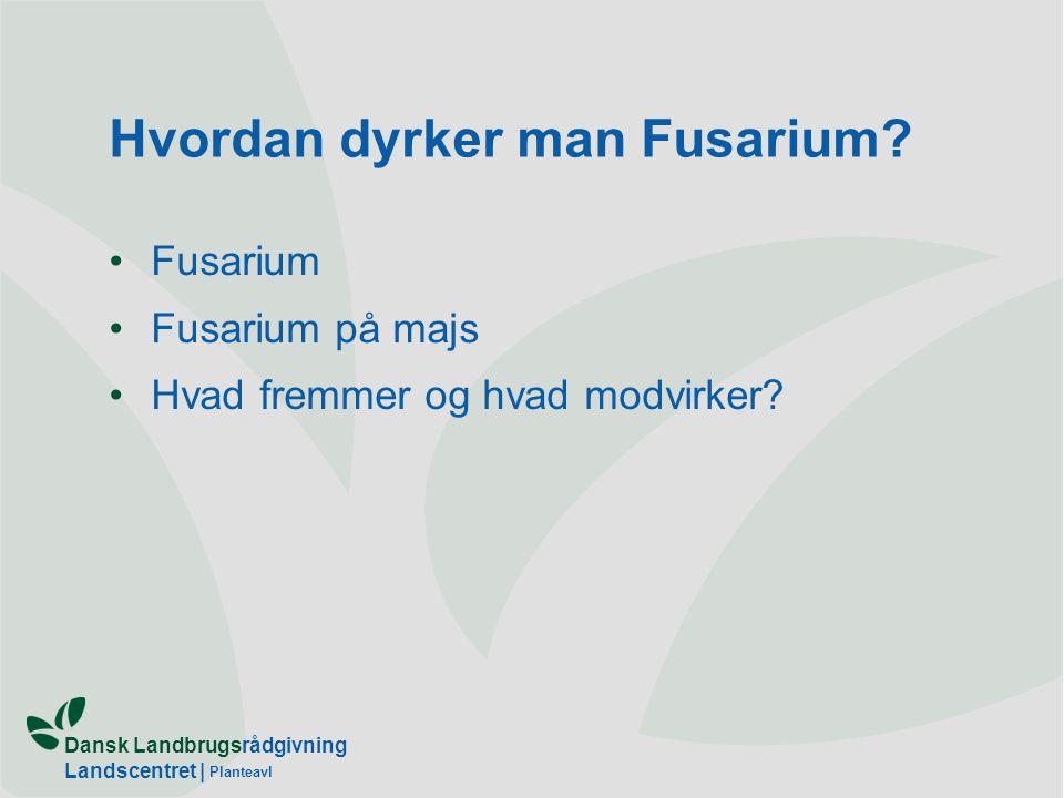 Hvordan dyrker man Fusarium