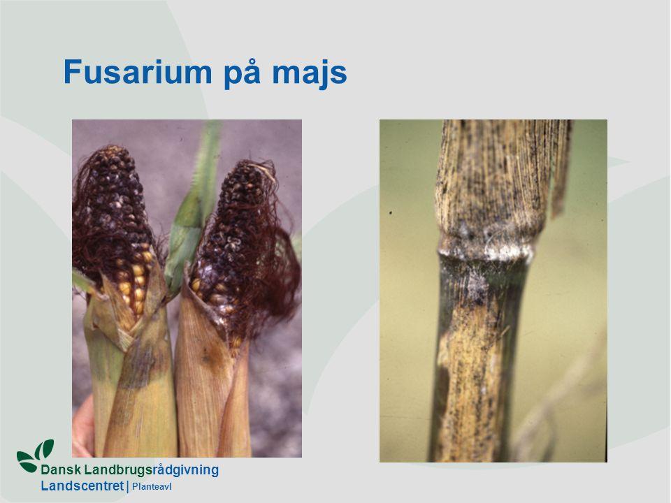 Fusarium på majs Planteavl