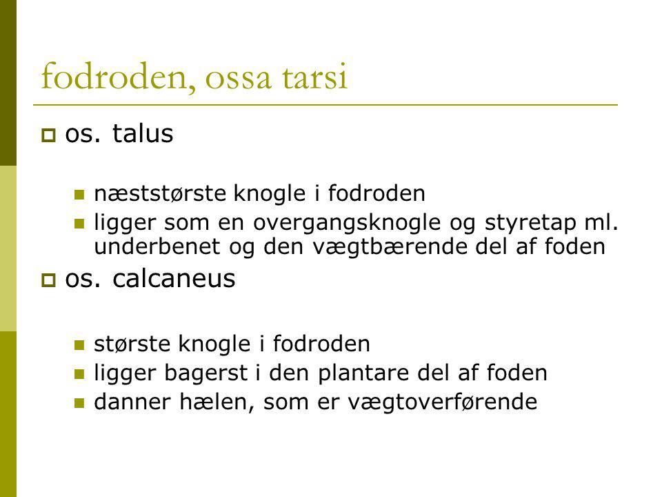 fodroden, ossa tarsi os. talus os. calcaneus