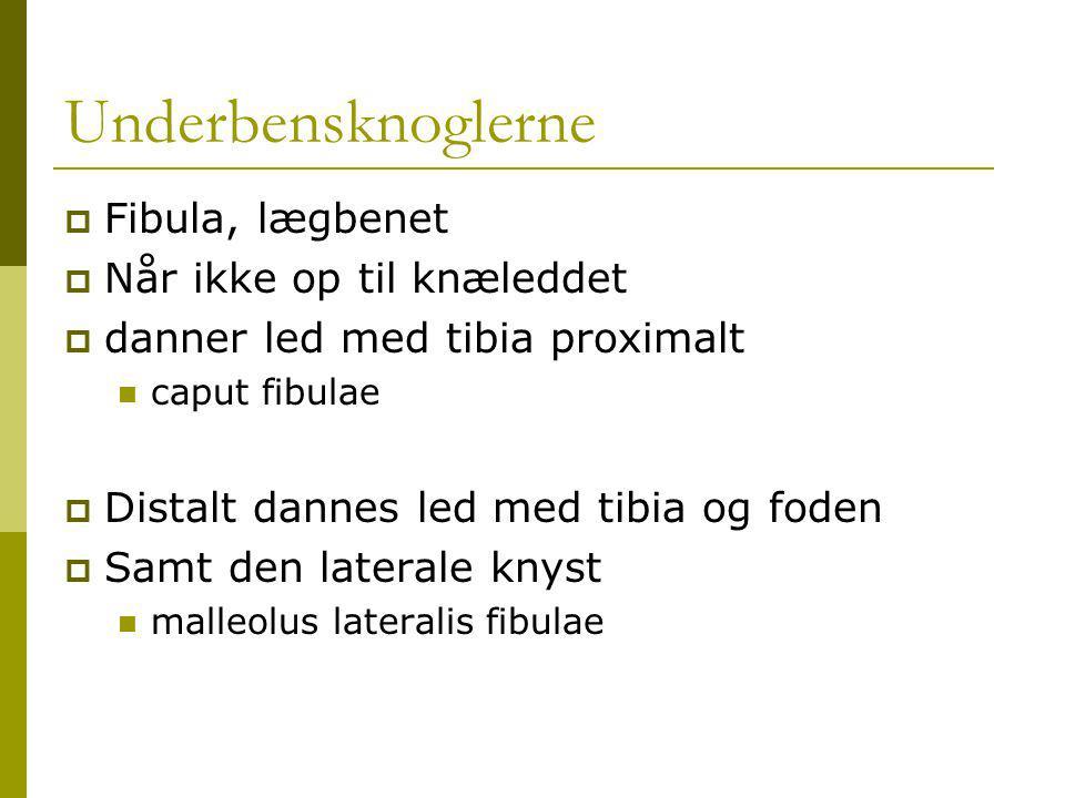 Underbensknoglerne Fibula, lægbenet Når ikke op til knæleddet