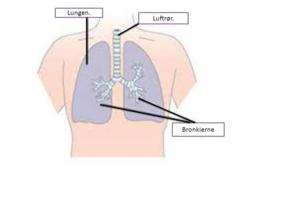 Lungen. Luftrør. Bronkierne