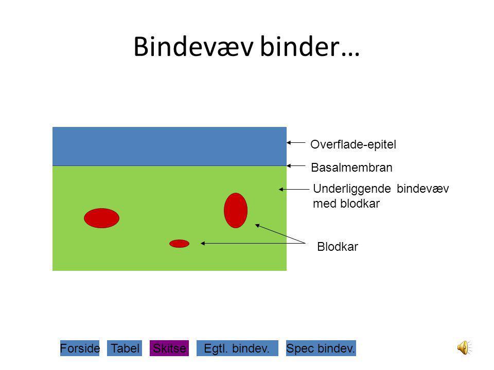 Bindevæv binder… Overflade-epitel Basalmembran Underliggende bindevæv