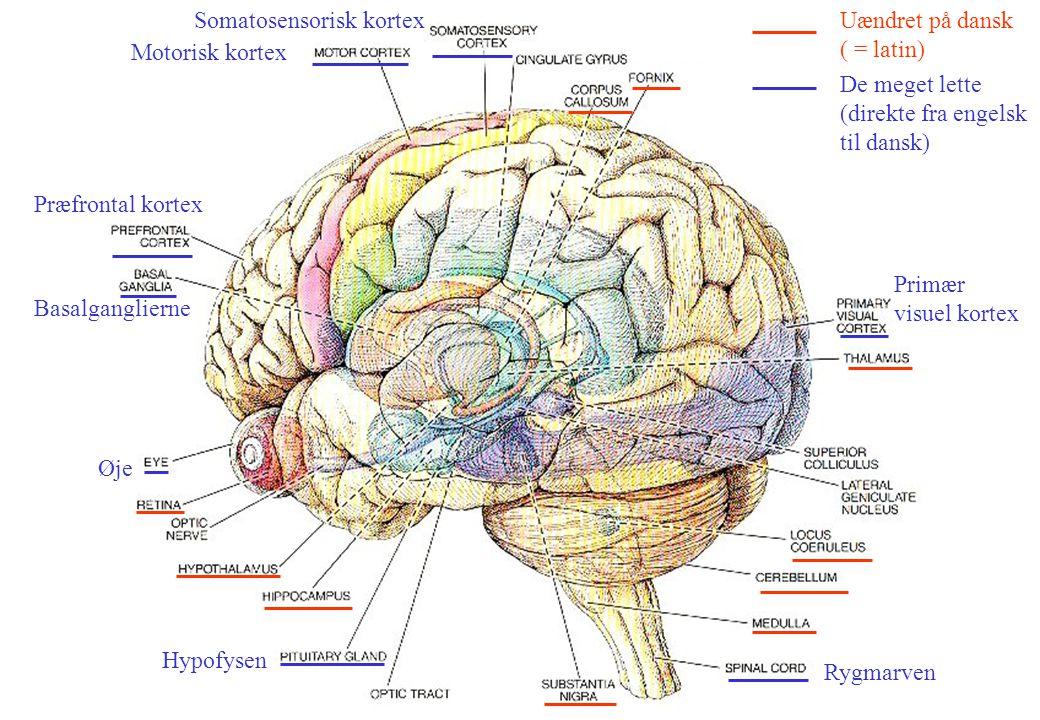 Gade Somatosensorisk kortex Uændret på dansk ( = latin)