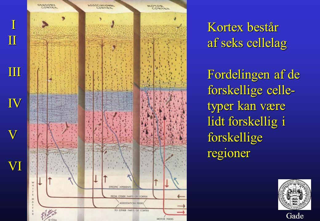 I Kortex består II af seks cellelag III Fordelingen af de
