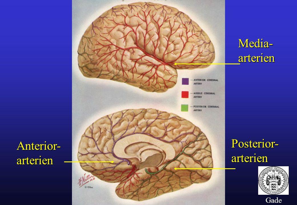 Media- arterien Posterior- arterien Anterior- arterien Gade