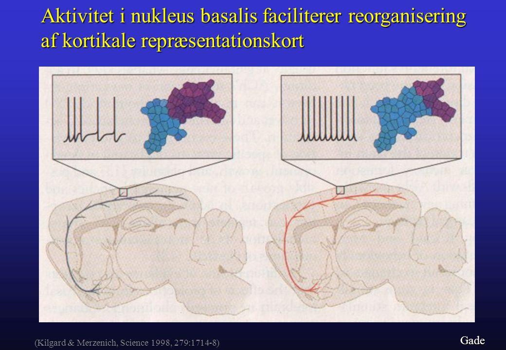 Aktivitet i nukleus basalis faciliterer reorganisering