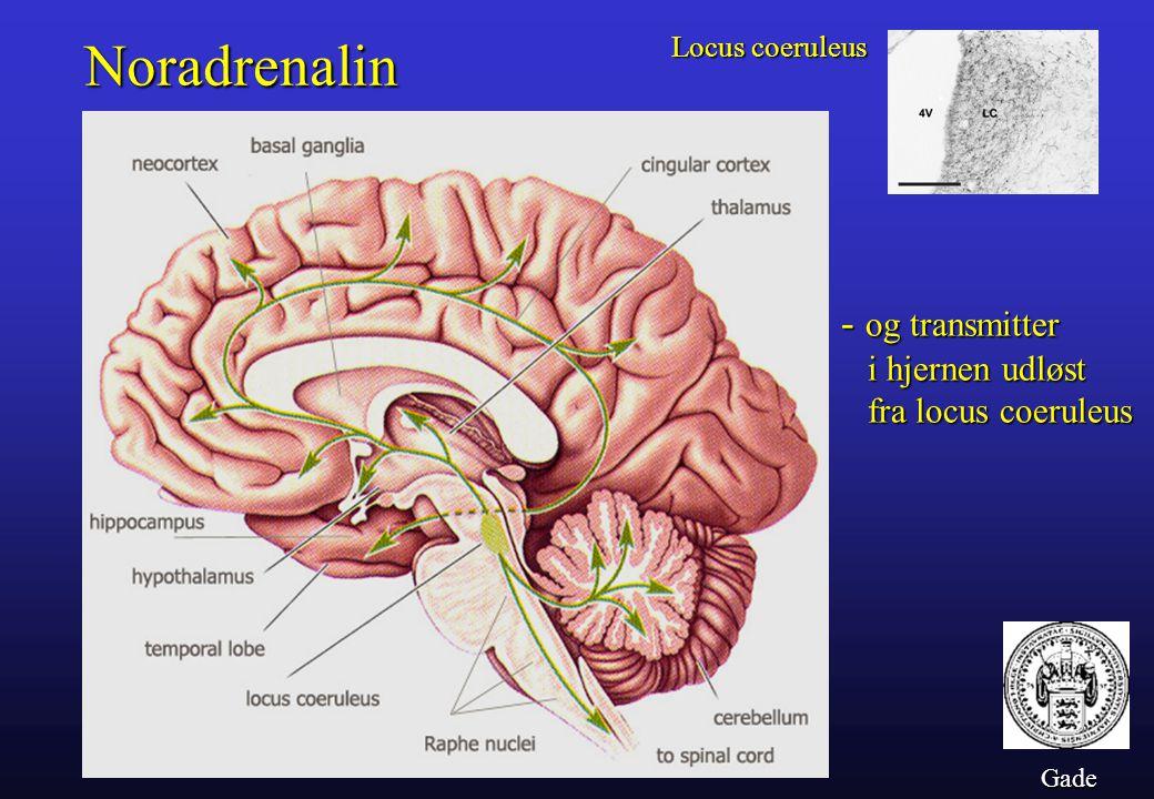 Noradrenalin - og transmitter i hjernen udløst fra locus coeruleus