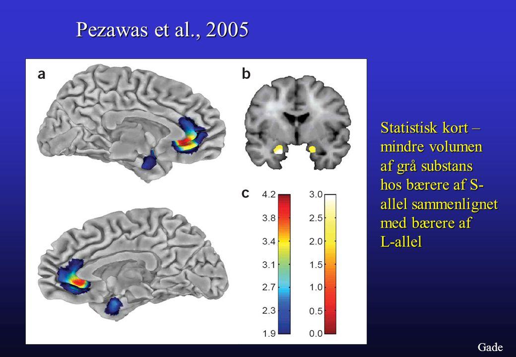 Pezawas et al., 2005 Statistisk kort – mindre volumen af grå substans hos bærere af S- allel sammenlignet med bærere af L-allel.